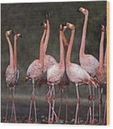 Greater Flamingo Group Courtship Dance Wood Print