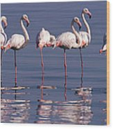 Greater Flamingo Group Wood Print