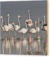 Greater Flamingos At Laguna De La Fuente De Piedra Wood Print