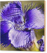 Greater Fringed Gentian Wood Print