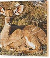 Greater Kudu Calf Wood Print
