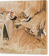 Greater Kudu Mother And Baby Wood Print