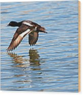 Greater Scaup In Flight Wood Print