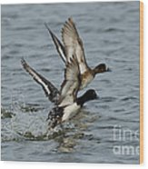 Greater Scaup Pair Wood Print