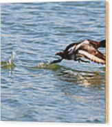 Greater Scaup Takes Flight Wood Print