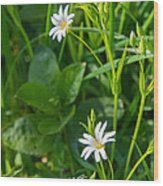 Greater Stitchwort Stellaria Wood Print