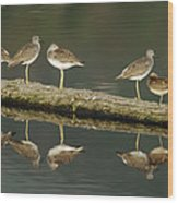 Greater Yellowlegs Wood Print