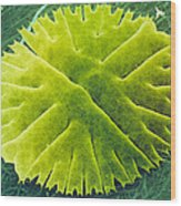 Green Alga, Micrasterias Wood Print by Power And Syred