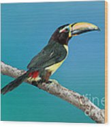 Green Aracari On Branch Wood Print