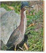 Green-backed Heron Butorides Virescens Wood Print