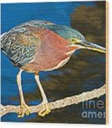 Green-backed Heron Wood Print