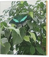 Green Banded Butterfly Wood Print