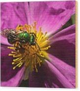 Green Bee Feeding On Rock Rose Wood Print