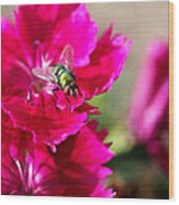 Green Bottle Fly On Dianthus  Wood Print