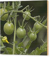 Green Cherry Tomatoes On The Vine Wood Print
