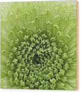 Green Chrysanthemum Wood Print by Lesley Rigg