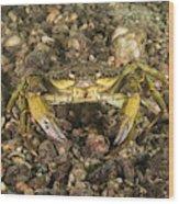 Green Crab Wood Print