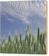 Green Crops Northwest Of Edmonton Wood Print