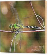 Green Dragonfly On Twig Square Wood Print