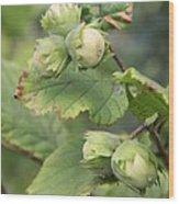 Green Hazelnuts Wood Print