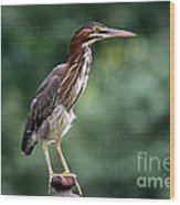 Green Heron 2 Wood Print