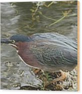 Green Heron On The Lookout Wood Print