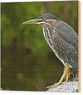 Green Heron Pictures 378 Wood Print