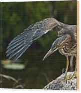 Green Heron Pictures 386 Wood Print