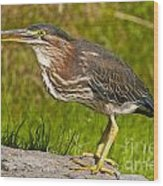 Green Heron Pictures 449 Wood Print