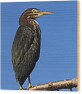 Green Heron Roosts Wood Print