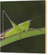 Green Hoppers Wood Print