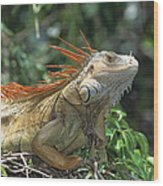 Green Iguana Male Portrait Central Wood Print