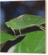 Green Leaf-mimic Katydid Steirodon Wood Print