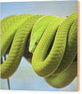 Green Mamba Coiled Up On A Branch Wood Print