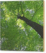 Green Maple Canopy Wood Print