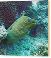 Green Moray Eel With Cleaning Fish Wood Print