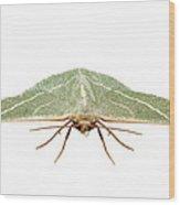 Green Moth Chlorissa Etruscaria Wood Print