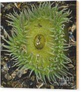 Green Sea Anemone Wood Print