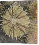 Green Sea Urchins Wood Print