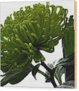Green Shamrock Chrysanthemum. Wood Print