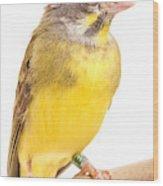 Green Singing Finch Crithagra Mozambicus Wood Print