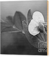 Green Sweet Pea Flower In Black And White Wood Print