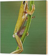 Green Tree Frog Climbing Wood Print