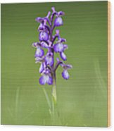 Green Winged Orchid Wood Print by Tim Gainey