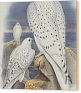 Greenland Falcon Wood Print