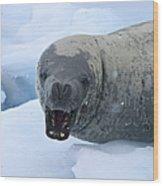 Greetings From Antarctica.. Wood Print