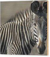 Grevys Zebra Standing In Plains Kenya Wood Print