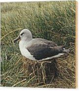 Grey-headed Albatross Nesting Chile Wood Print