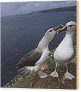 Grey-headed Albatrosses At Nest Site Wood Print