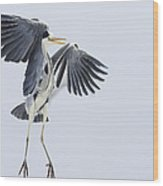 Grey Heron Landing Germany Wood Print